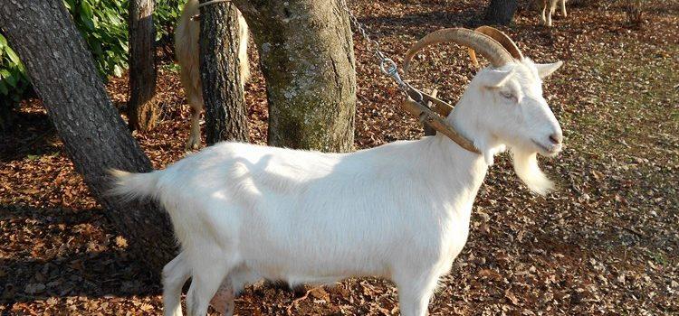 Kozja sirutka – nutritivna vrijednost, primjena i gdje kupiti kozju sirutku?