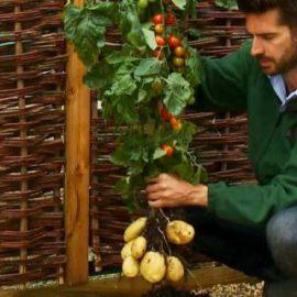 Uzgojite paradajz i krompir iz jedne biljke