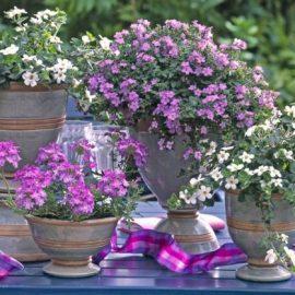 Nezahtjevna bakopa: Ljetna biljka za balkon i vrt koja očarava bujnim cvjetanjem